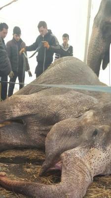 Ужас!!! Смерть слона в цирке братьев Гертнер!!!